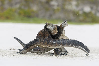 Marine Iguana Males Fighting Turtle Bay Poster by Tui De Roy