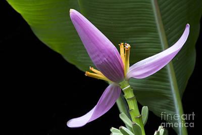 Musa Ornata - Pink Ornamental Banana Flower Hawaii Poster by Sharon Mau