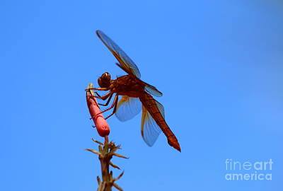 Nectar Feeding Red Dragonfly Poster by Christiane Schulze Art And Photography