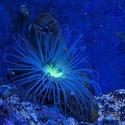Neon Anemone Poster by Mandy Judson