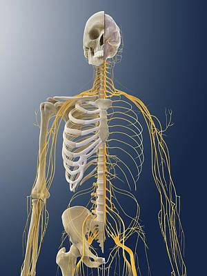 Nervous System, Artwork Poster by Science Photo Library