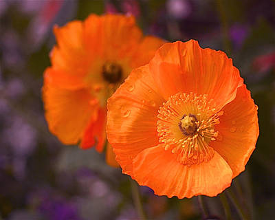 Orange Poppies Poster by Rona Black