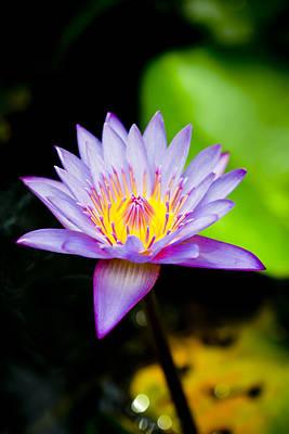 Purple Lotus  Poster by Raimond Klavins