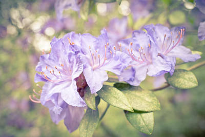 Purple Rhododendron Sparkles Poster by Priya Ghose