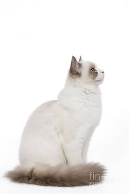 Ragdoll Cat Poster by Jean-Michel Labat