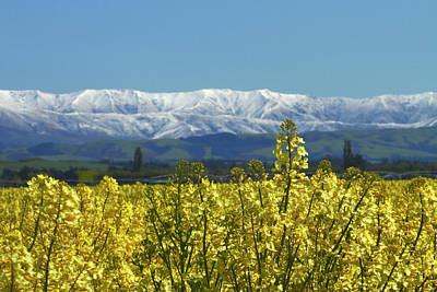Rapeseed Field, Near Timaru, South Poster by David Wall