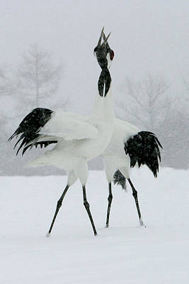 Red-crowned Cranes Poster by M. Watson