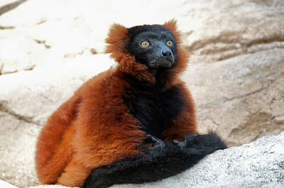 Red Ruffed Lemur Poster by Mark Newman