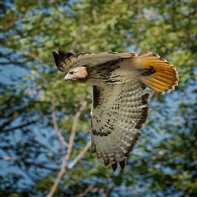 Red Tail Hawk Poster by Bill Wakeley