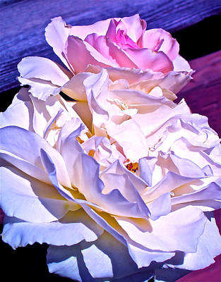 Rose 58 Poster by Pamela Cooper
