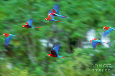 Scarlet And Green-winged Macaws Poster by Art Wolfe