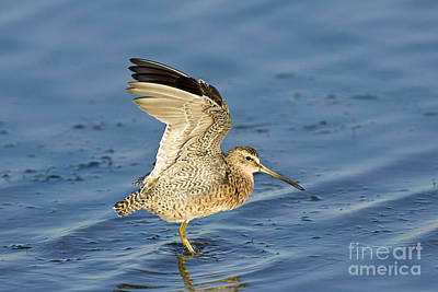 Short-billed Dowitcher Poster by Anthony Mercieca