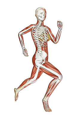 Skeleton Of Runner Poster by Andrzej Wojcicki