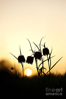 Snakes Head Fritillary Flowers At Sunset Poster by Tim Gainey