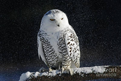 Snowy Owl On A Twilight Winter Night Poster by Inspired Nature Photography Fine Art Photography