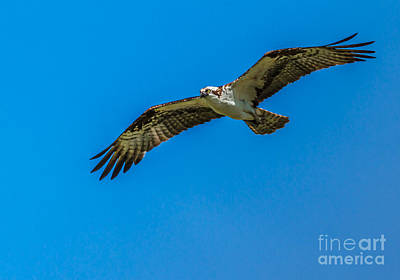 Soaring Osprey Poster by Robert Bales