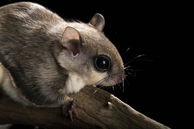 Southern Flying Squirrel, Glaucomys Poster by Maresa Pryor