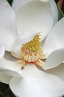 Southern Magnolia (magnolia Grandiflora) Poster by Dr. Nick Kurzenko