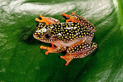 Starry Night Reed Frog, Heterixalus Poster by David Northcott