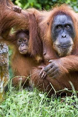 Sumatran Orangutans Poster by Tony Camacho