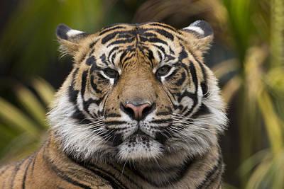 Sumatran Tiger Poster by San Diego Zoo