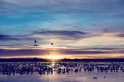 Sunrise - Snow Geese - Birds Poster by Shara Lee