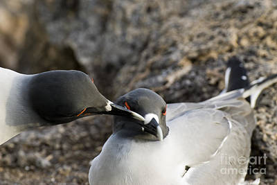 Swallow-tailed Gulls Poster by William H. Mullins