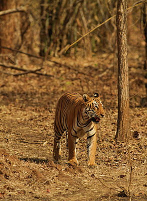 Tiger On The Move In Bamboo Forest Poster by Jagdeep Rajput