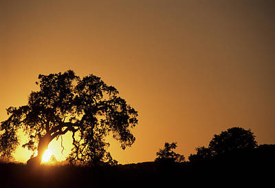 Usa, California, Oak Tree, Sunset Poster by Gerry Reynolds