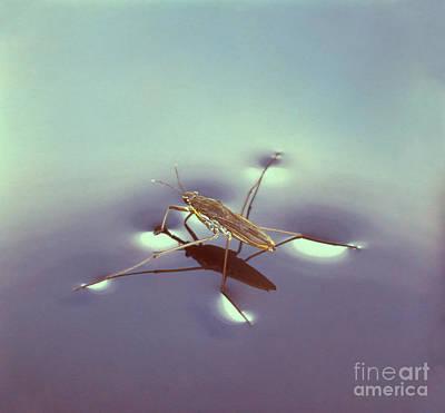 Water Strider Poster by Hermann Eisenbeiss