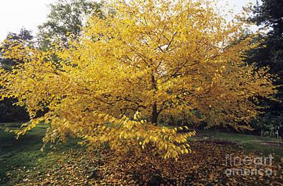 Yellow Birch Betula Alleghaniensis Poster by Adrian Thomas