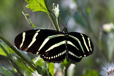 Zebra Longwing Butterfly-4 Poster by Rudy Umans