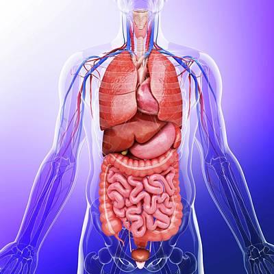 Human Internal Organs Poster by Pixologicstudio