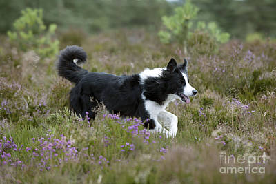 Border Collie Poster by John Daniels