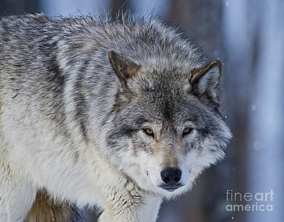 Timber Wolf Poster by Michael Cummings