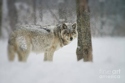 Timber Wolf Pictures Poster by Michael Cummings