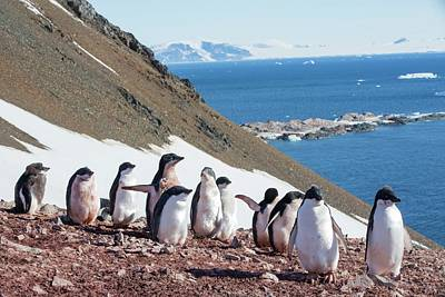 Adelie Penguins Poster by Ashley Cooper