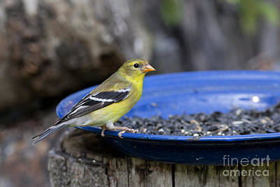 American Goldfinch Poster by Linda Freshwaters Arndt