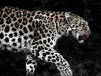 Fangs Poster featuring the photograph Amur Leopard by Martin Newman