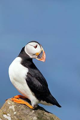Atlantic Puffin Poster by Alex Hyde