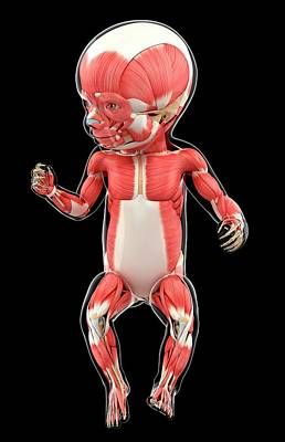 Baby's Muscular System Poster by Pixologicstudio