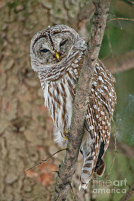 Barred Owl Poster by Michael Cummings