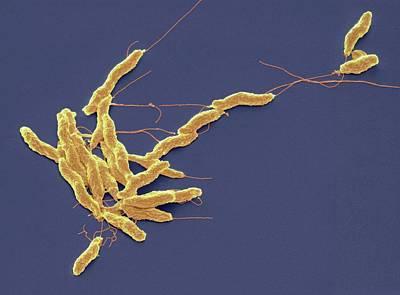 Campylobacter Jejuni Bacteria Poster by Steve Gschmeissner