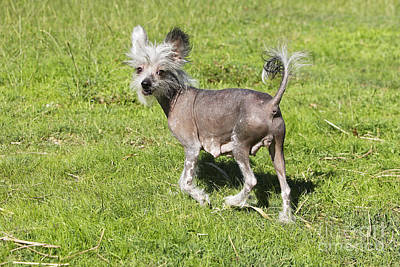 Chinese Crested Dog Poster by M. Watson