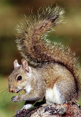 Eastern Gray Squirrel Poster by Millard H. Sharp