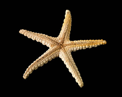 Elegant Starfish Poster by Natural History Museum, London