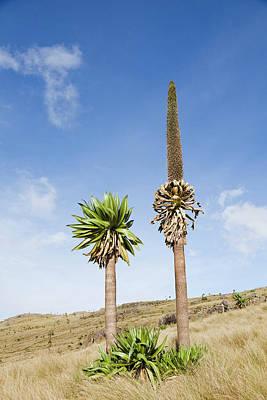 Ethiopian Giant Lobelia (lobelia Poster by Martin Zwick
