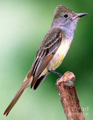 Great Crested Flycatcher Poster by Millard H. Sharp