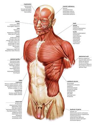Head And Trunk Muscular Groups Poster by Asklepios Medical Atlas
