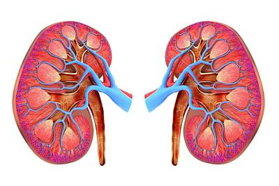 Human Kidneys Poster by Alfred Pasieka